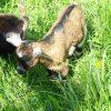 Kleine süße Ziegen streicheln