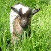 Unsere kleinen Ziegen sind echte Abenteurer